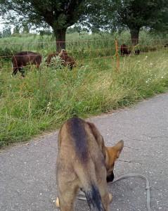 Aika snuffelt bij de schapen