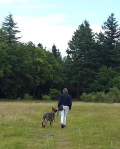 duitse herder loopt aan de lijn zonder trekken