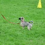 Chihuahua oefent lopen aan de lijn zonder trekken